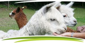 The alpacas at Fosfelle Country Cottages, Hartland, North Devon