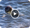 Visitor Video: Swimming with Seals