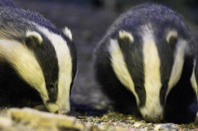 Devon badgers, courtesy of Local Surfer