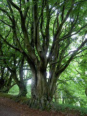 A beautiful beech tree in the woods near Clovelly