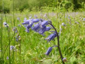 Common Bluebell, thanks to Devon Wildlife Trust www.devonwildlifetrust.org