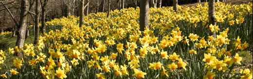 Daffodils at Docton MIll Gardens & Tea Room, Hartland North Devon - perfect for Mothers Day or days out on your short break or holiday in North Devon