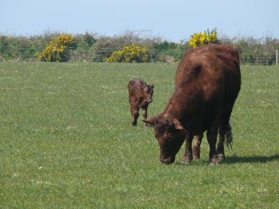 Ruby Red Devon cattle at Cheristow Lavender, Hartland, North Devon. Exceptional