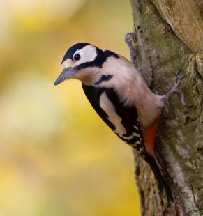 Great spotted woodpecker courtesy of Devon Wildlife (Neil Bygrave)