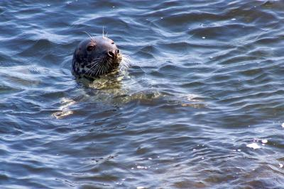 Seal in Lundy waters, courtesy of Peter Price