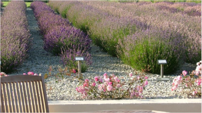Cheristow Lavender Farm, Hartland, North Devon. Exceptional tea rooms, gardens,