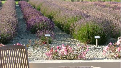 Cheristow Lavender Farm, Hartland, North Devon. Exceptional tea rooms, gardens,